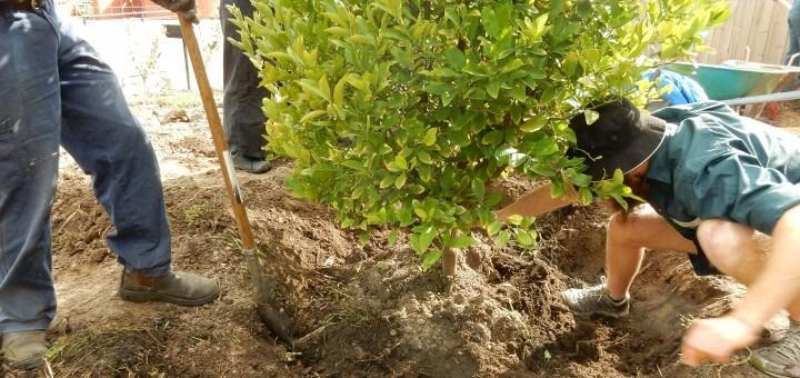 The cumquat tree 1