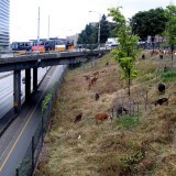 Goats graze near Interstate 5 in Seattle.