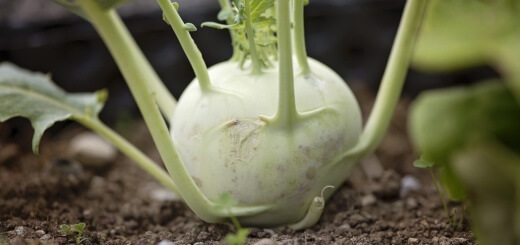 Kohlrabi - you can get them either white or purple