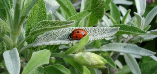 Garden sage with a well known beneficial insect