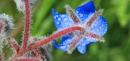 Borage in frost