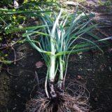 Perennial leek - yum!