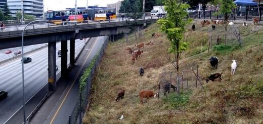 Goats graze near Interstate 5 in Seattle.